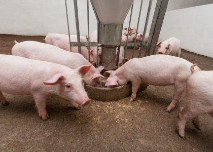 Pigs during feeding